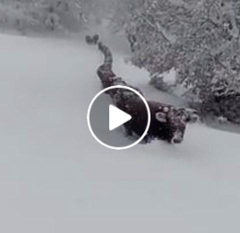 Una prucessione di vacche in Sardegna