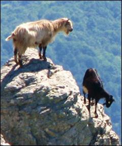 Ci vole à salvà e capre corse (è ùn hè micca una magagna)