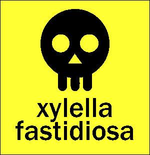 """È s'ella ghjunghje a xylella """"ebola"""" fastidiosa, chì femu ?"""