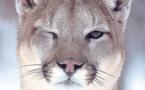 Hè mortu l'ultimu cougar